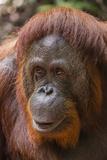 Reintroduced Female Orangutan (Pongo Pygmaeus)  Indonesia