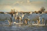 Wild White Horses  Camargue  France  Europe