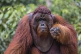 Reintroduced Flanged Male Orangutan (Pongo Pygmaeus)  Indonesia