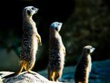 Meerkats (Suricata Suricatta) in Captivity  United Kingdom  Europe