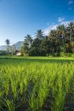 Padi Field in Lake Toba  Sumatra  Indonesia  Southeast Asia