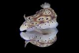Risbecia Tryoni Nudibranch  Beqa Lagoon  Fiji