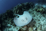 A Roughtail Stingray Swims over the Seafloor Near Turneffe Atoll Tableau sur toile par Stocktrek Images
