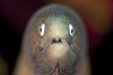 Front View of a White-Eyed Moray Eel