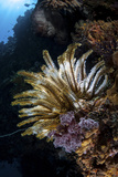 A Colorful Crinoid in Komodo National Park  Indonesia