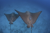 Spotted Eagle Rays Swim over the Seafloor Near Cocos Island  Costa Rica