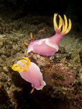 A Pair of Pink Nudibranchs  Lembeh Strait  Indonesia