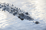 A Large American Crocodile Surfaces in a Lagoon
