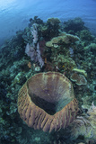 A Massive Barrel Sponge Grows on a Reef Near Alor  Indonesia