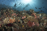 Diver Looks on at Sponges  Soft Corals and Crinoids in a Colorful Komodo Seascape