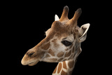 A Vulnerable Reticulated Giraffe  Giraffa Camelopardalis Reticulata
