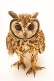 A Striped Owl  Pseudoscops Clamator Forbesi  at the Nispero Zoo