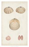 Antiquarian Shell Study V