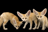 Three  Ten Week Old Fennec Fox Kits  Vulpes Zerda  at the Saint Louis Zoo