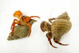 A Pacific Red Hermit Crab and Whitehand Hermit Crab