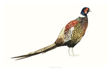 Watercolor Pheasant I