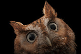 A Red Phased Eastern Screech Owl  Megascops Asio  at the Audubon Center for Birds of Prey
