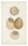 Antiquarian Shell Study II