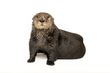 An Endangered Northern Sea Otter  Enhydra Lutris  at the Minnesota Zoo