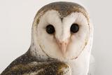An Australian Barn Owl  Tyto Delicatula  at Healesville Sanctuary