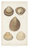 Antiquarian Shell Study III