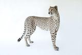 A Three-Year-Old Cheetah  Acinonyx Jubatus  at the White Oak Conservation Center
