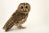 A Tawny Owl or Brown Owl  Strix Aluco  from the Budapest Zoo