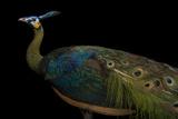 An Endangered Javan Green Peafowl  Pavo Muticus Muticus  at the Houston Zoo