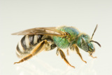 Female Sweat Bee or Halictid Bee  Agapostemon Virescens