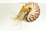 A Nautilus  Nautilus Pompilius  at the Monterey Bay Aquarium