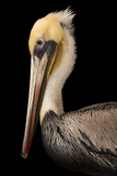 A Brown Pelican  Pelecanus Occidentalis  at the Santa Barbara Wildlife Care Network