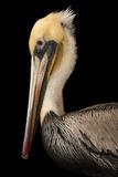 A Brown Pelican  Pelecanus Occidentalis  at the Santa Barbara Wildlife Care Network