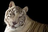 An Endangered  Male White Bengal Tiger  Panthera Tigris Tigris  at Alabama Gulf Coast Zoo