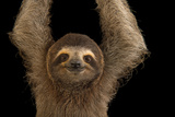 A Brown Throated Three Toed Sloth  Bradypus Variegatus