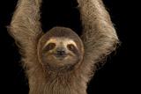 A Brown Throated Three Toed Sloth  Bradypus Variegatus