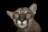 An Endangered Florida Panther  Puma Concolor Coryi  at Tampa's Lowry Park Zoo