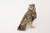 A Long-Eared Owl  Asio Otus  at the Wildlife Center