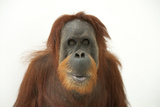 A Female Sumatran Orangutan  Pongo Abelii  at the Gladys Porter Zoo