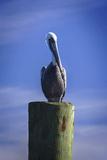 Mr Pelican I