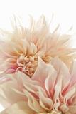 Pink Dahlia II