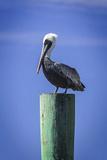 Mr Pelican III