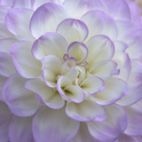 Lavender Dahlia VI