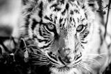 Tiger Cub I