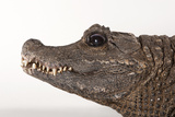 A Close Up of the Head of a Female West African Dwarf Crocodile  Osteolaemus Tetraspis