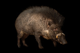 A Critically Endangered Visayan Warty Pigs  Sus Cebifrons  at the Minnesota Zoo