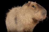 A Capybara  Hydrochoerus Hydrochaeris  at the Rolling Hills Zoo
