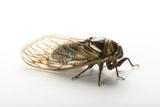 A Studio Portrait of a Bush Cicada  Tibicen Dorsatus