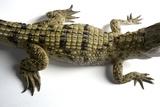 A Critically Endangered Philippine Crocodile  Crocodylus Mindorensis