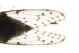 Studio Portrait of a Cicada  Tibicen Canicularis