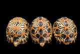 Three Critically Endangered  Yearling Radiated Tortoises  Astrochelys Radiata